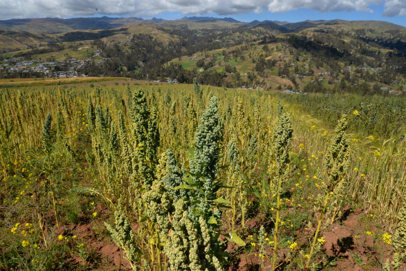 campo quinua