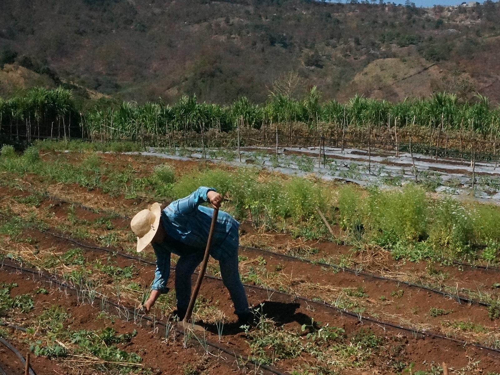 Ensayo de Cultivo de Chia y Soya_ Honduras _2018