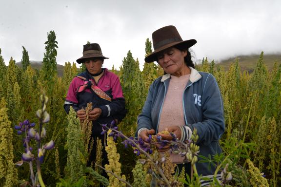 mujeres cosechando quinua org.